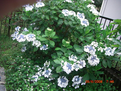 Hydrangea in full bloom in my garden
