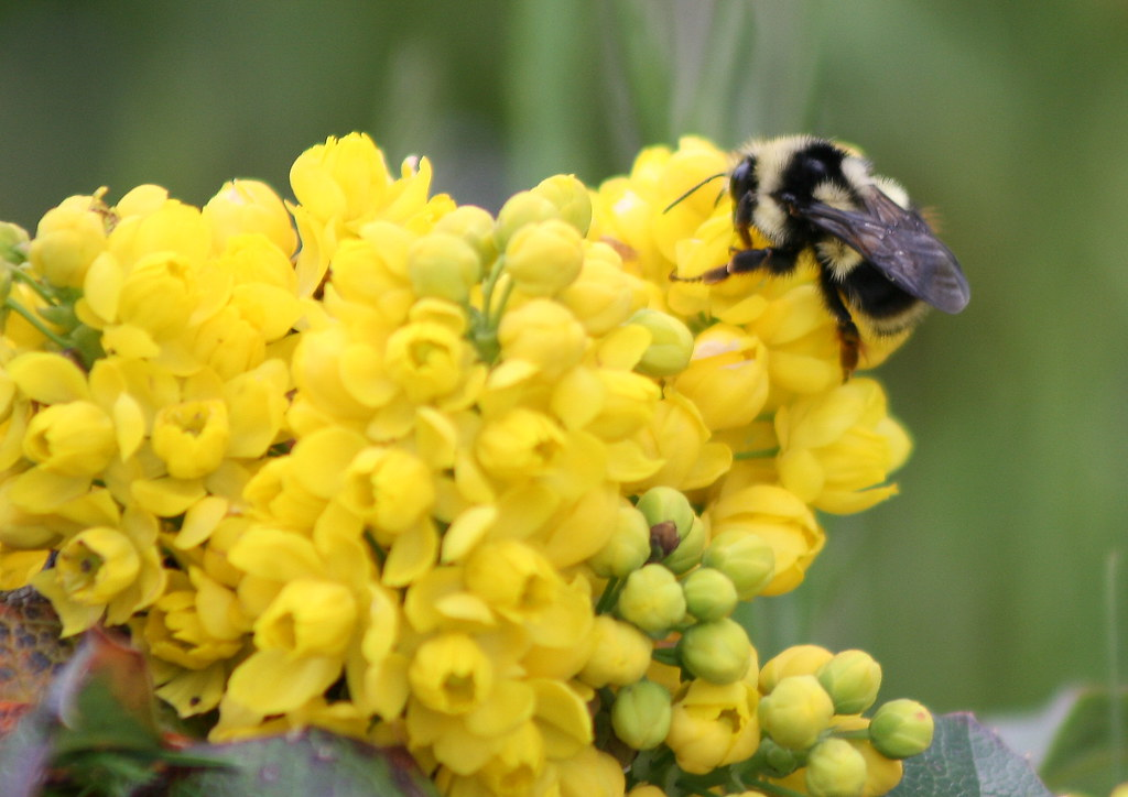 bumblebee on oregon grape blossom