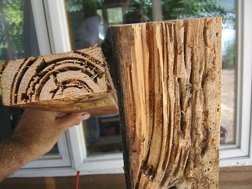 Матичњак термита у дрвету (аутор Voxphoto)