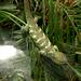 Prehensile-Tailed Skink -- DSCN4457