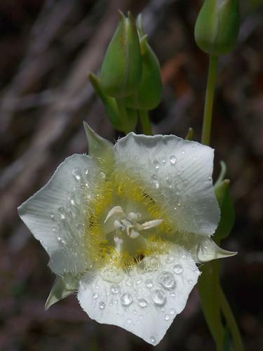 Tolmie star-tulip