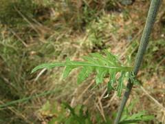 Leuzea rhaponticoides. Hoja