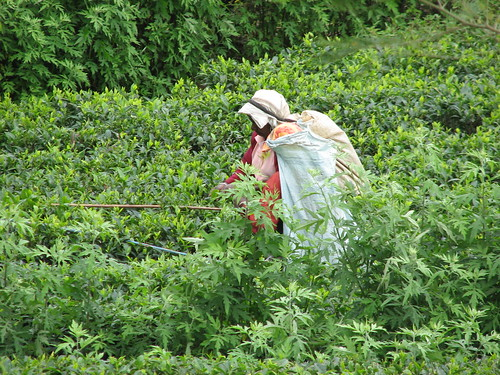 Farmer carries bag with harvested tea