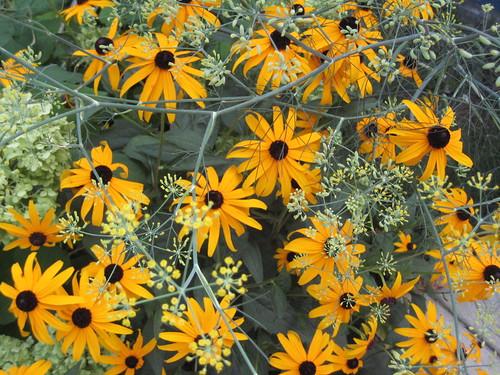 Orange coneflower and fennel