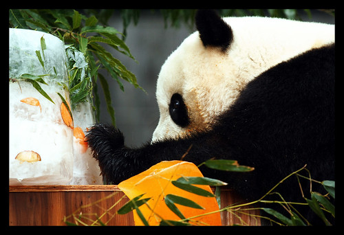 Tai Shan's 3rd Birthday Bash at the DC Zoo