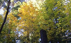 autumn golden maples
