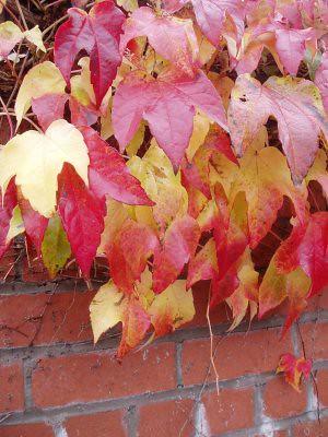 leaves on a wall near where i live.. i love the colours