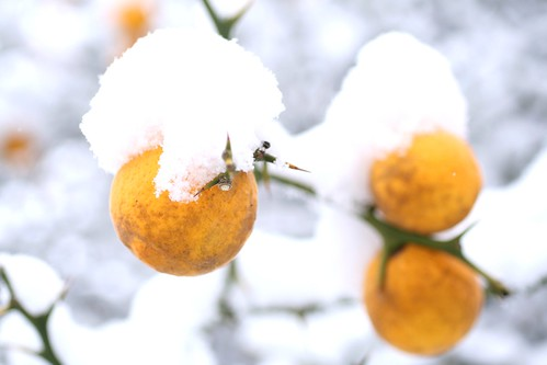 Oranges in snow_who have thunk it