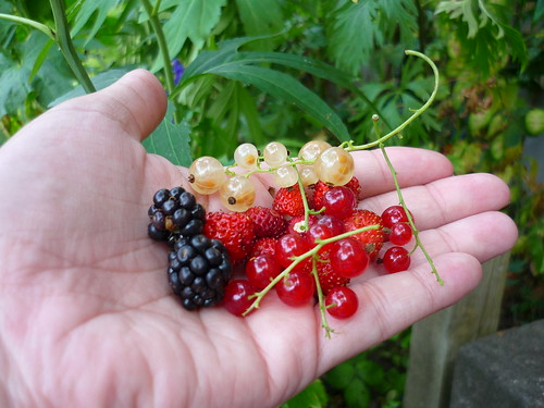 Picking berries in the garden