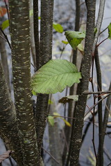 Stand of Alder Near Pond