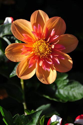 Dhalia Garden - Conservatory of Flowers