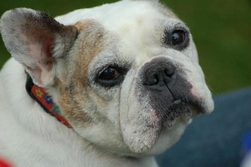 Tessa at the T Dot French Bulldog meet up
