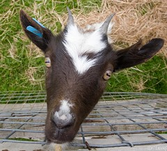 floating baby goat head!