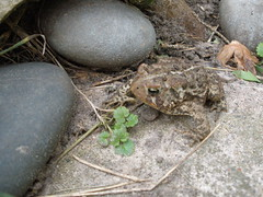 American Toad Found While Gardening