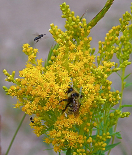 Goldenrod and Bumble