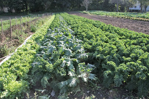 rows of kale: red Russian and Winterbor