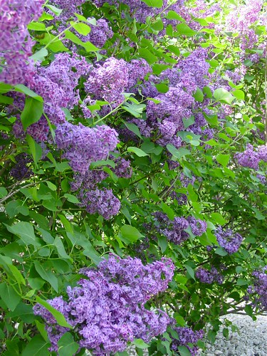 Lilacs in the backyard