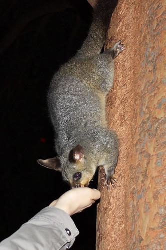 Possum hand feeding