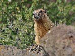Yellow-bellied Marmot, Redmond