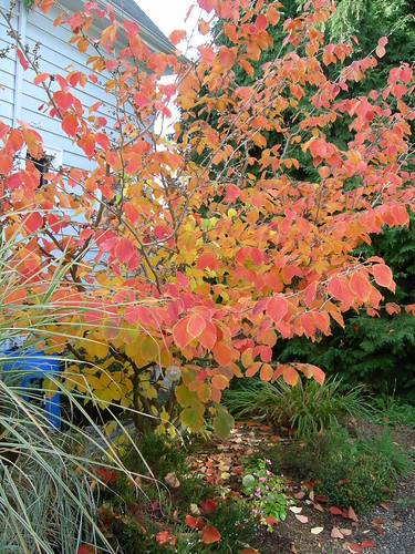 Fiery witch hazel