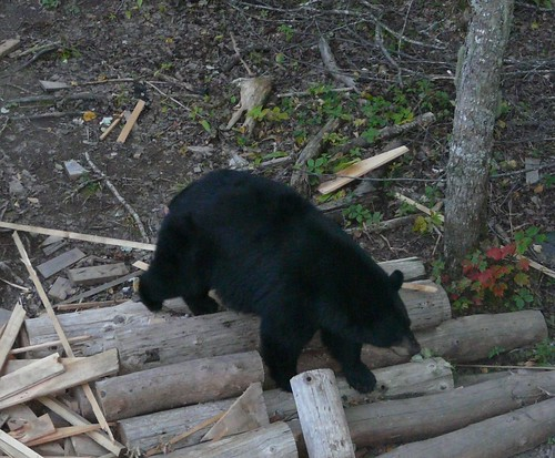 Bear on logs