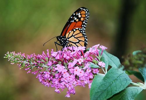 Autumn Migrating Monarch