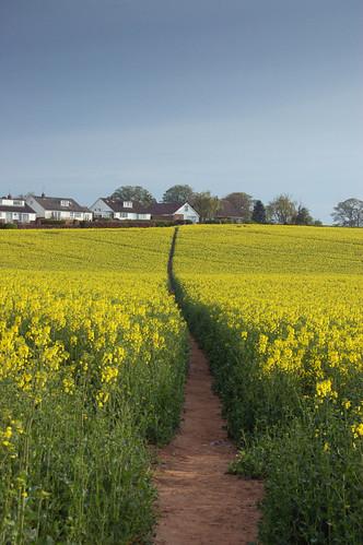 Path through the Brassica napus