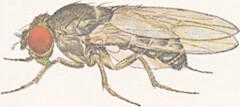 Drosophila pseudoobscura  male