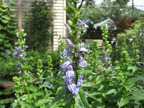 Lobelia and its bee fans