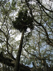 Palm tree engulfed by the Banyan tree