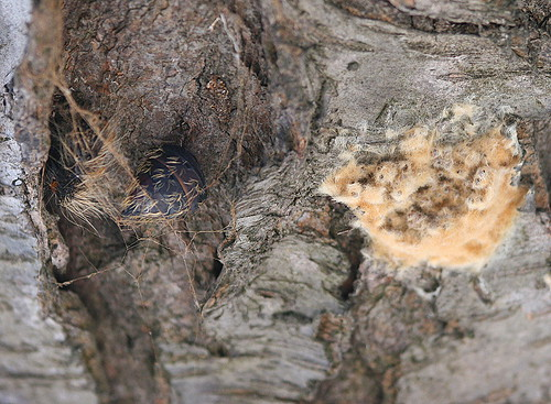 Gypsy Moth egg mass and pupa case