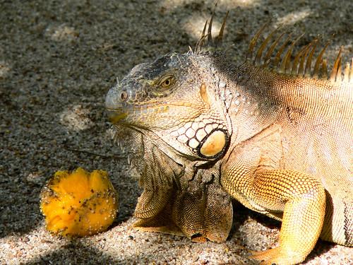 mango eating Garobo