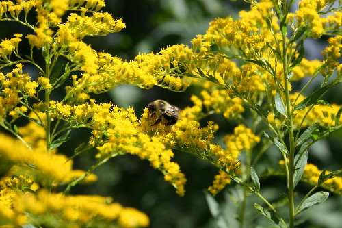 Sweet Goldenrod, Solidago odora