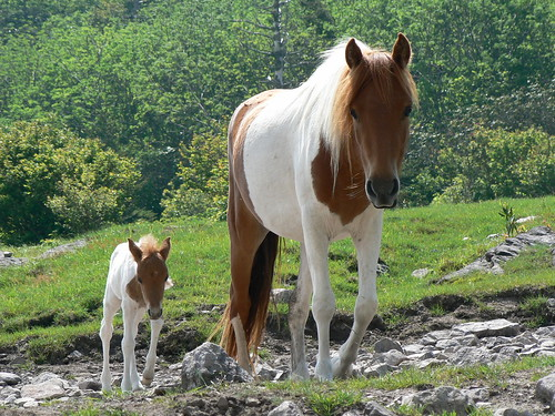 Rhododendron Gap - Baby Pony and Mama Pony