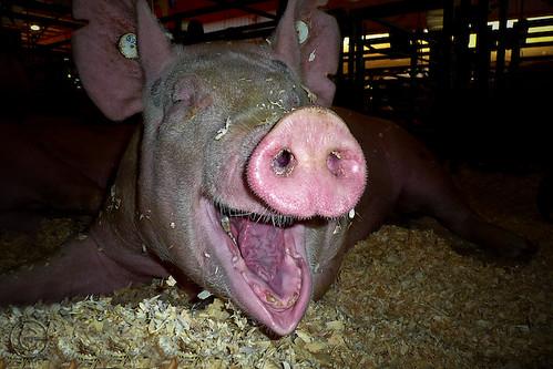 """Wilbur """"Porky"""" Pig"""
