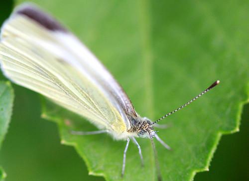 ochi de fluture