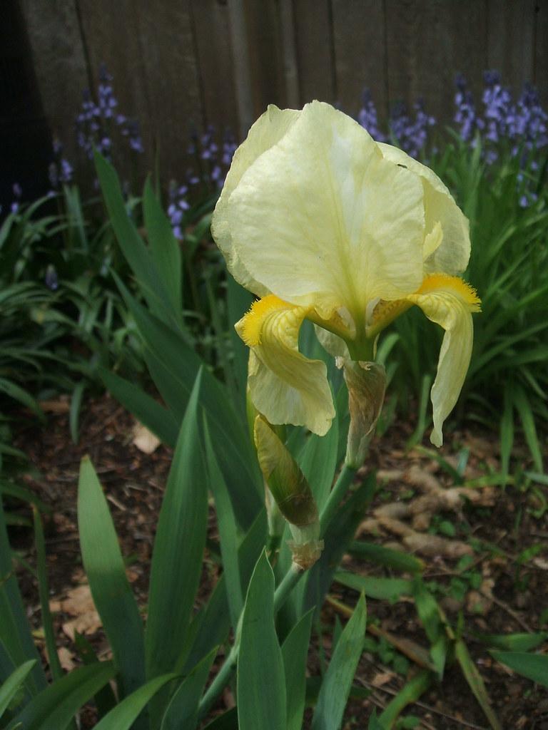 Yellow iris, finally blooming