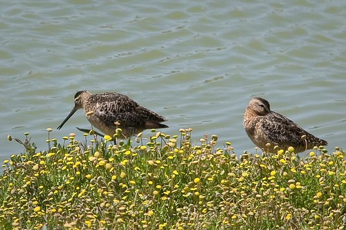 Dowitcher sp. by you.