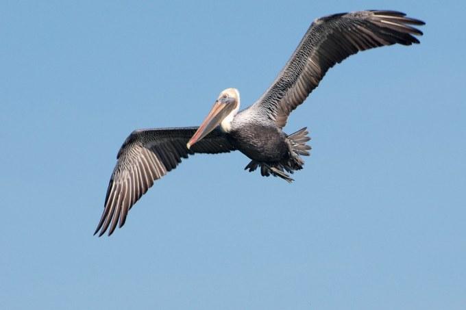 Brown Pelican on San Francisco Bay