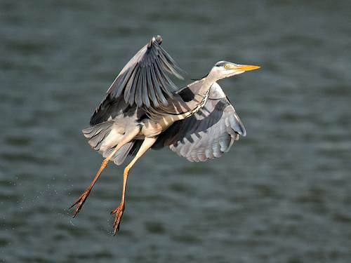 Grey Heron flight