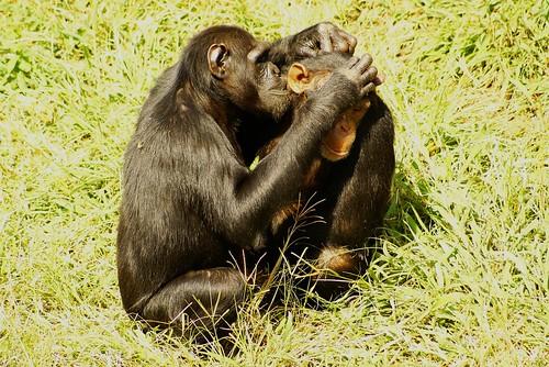 Chimpanzee Grooming