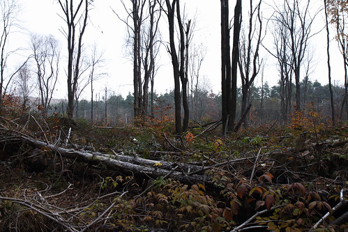 Harvesting Pines - but Leaving the Hardwoods Behind