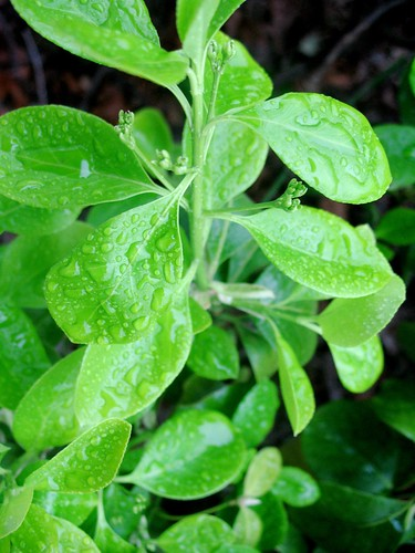 morning rain on spring growth