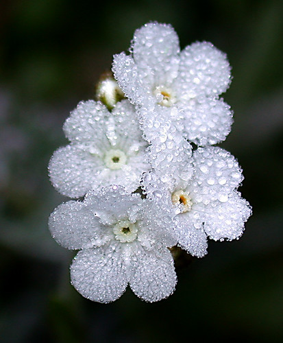 Popcorn flower with dewdrops
