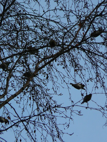 Siskins in silhouette...
