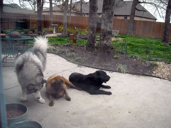 Gus, checking Rylee and Jack over.  Pay no attention to the ugly clover in the background.