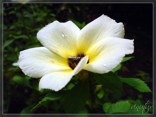 Black Bee-Drops