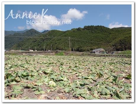 武陵_路上高麗菜