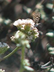 El Segundo Blue Butterfly, Euphilotes battoide...