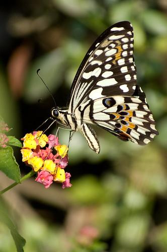 Papilio demoleus libanius